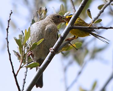 370_Wilson's_Warbler_feeding_Brown-headed_Cowbird.png