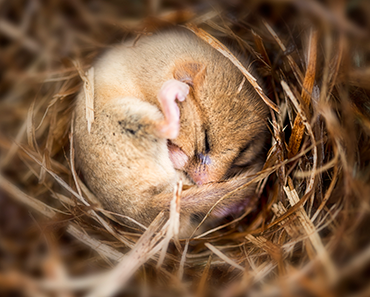 370_dormouse_hibernating.png
