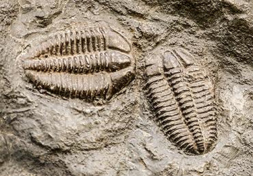 370_trilobite_fossils.png