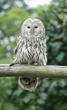 375_ISEF19_Ural_owl_Strix_uralensis.png
