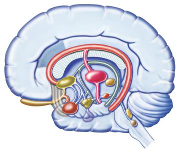 375_brain_hypothalamus.png