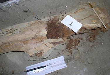 375_inline_Brachylophosaurus-femur.png