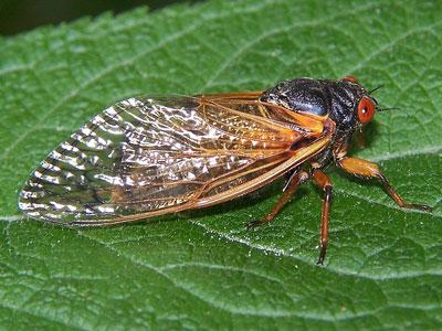 cicada resting on a leaf