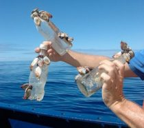 Barnacles usually live on floating pieces of wood, but now they're often found living on plastic trash adrift at sea. Scientists are concerned that because the plastic is so abundant, the barnacle population might grow larger. Credit: © 2009 Scripps Institution of Oceanography, UCSD, J. Leichter