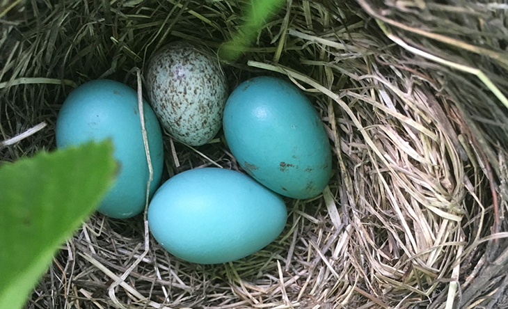 730_Cowbird-egg-in-robin-nest.png