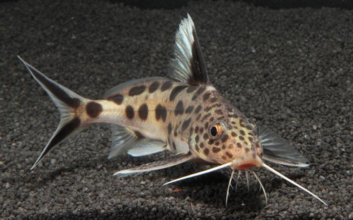 730_Cuckoo_catfish.png