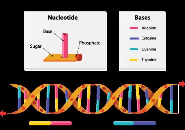730_DNA_gene_explainer.png