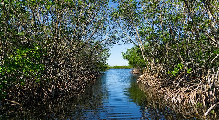730_Fla_mangrove.png