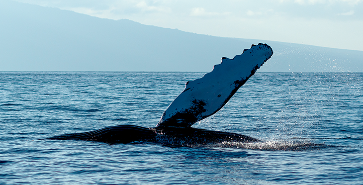 730_ISEF19_humpback_whale_fin.png