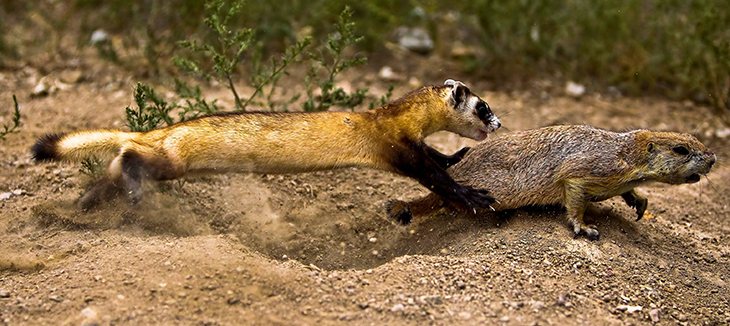 730_black_footed_ferret_pounce.png