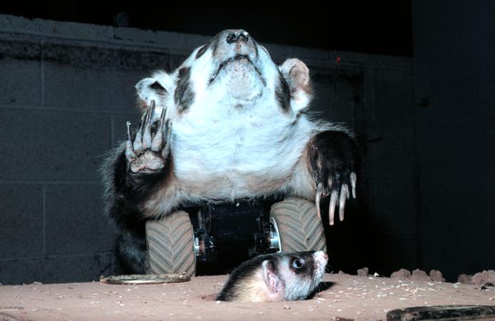 Robo-badger