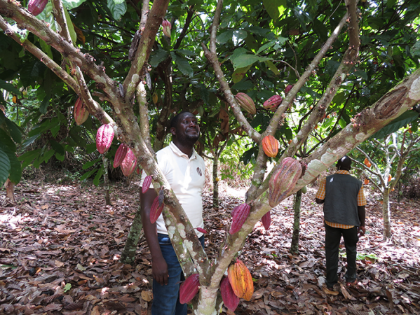 730_cacao_tree_pods.png