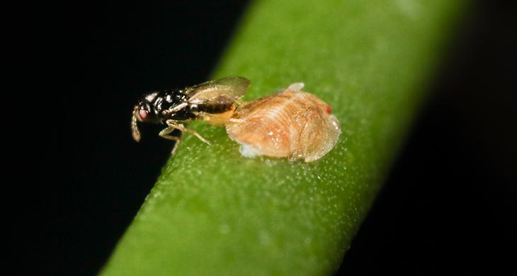 730_citrus_wasp_crop_diseases.png