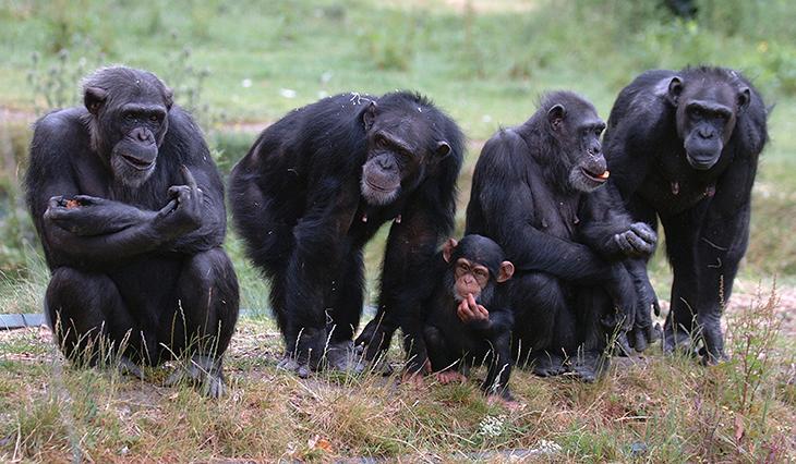 730_conscience_chimpanzees.png