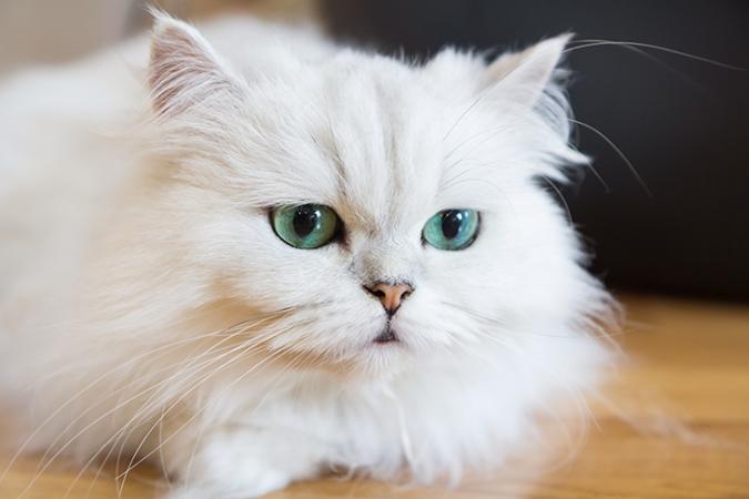 730_genetics_breeds_persian_cat.png