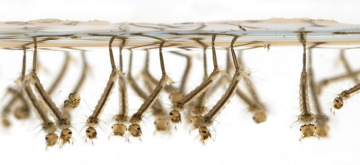 730_mosquito_larvae.png
