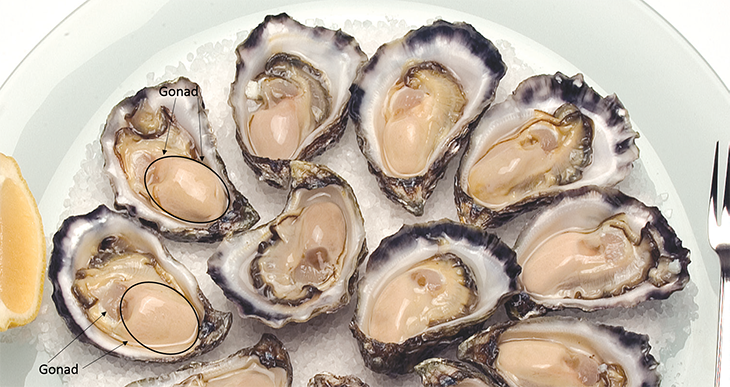 730_oysters_gonad.png