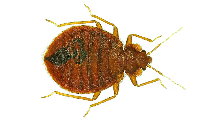 Bed Bugs Have Favorite Colors Science News For Students
