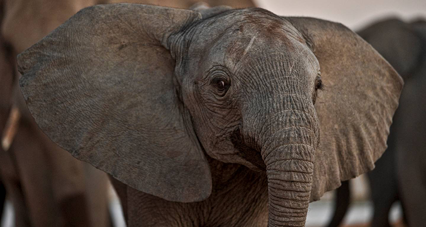 Could An Elephant Ever Fly Science News For Students