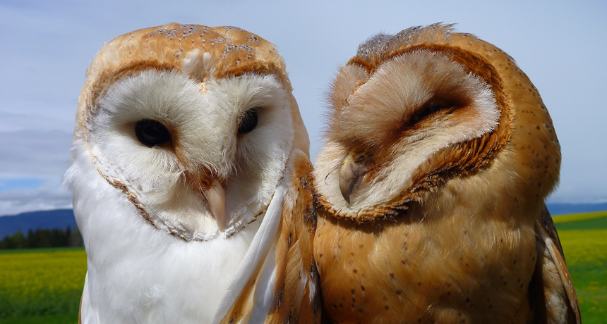 Standing Out Helps Barn Owls On The