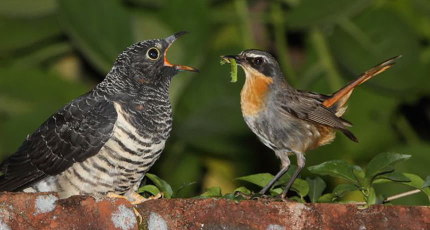 Parasitism >> When Parenting Goes Cuckoo Science News For Students