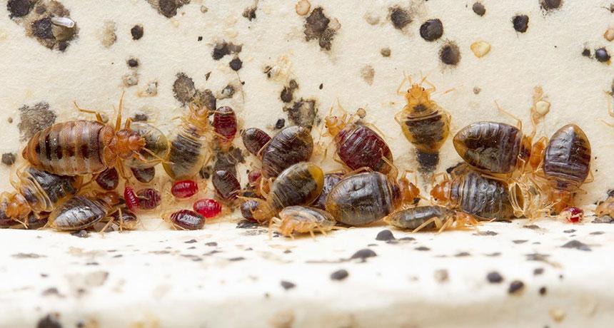 Yuck Bedbug Poop Leaves Lingering Health Risks Science News For Students