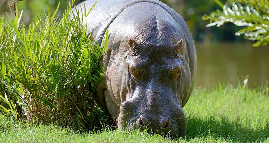 Hippo eating grass stock image. Image of danger, fauna ... |Hippo Eating Grass