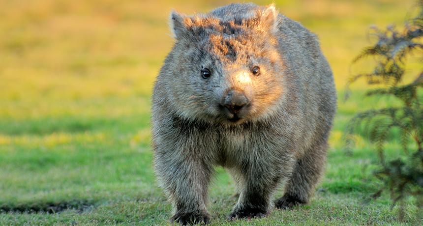 860_wombat_poop.png