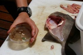 The stomach of this triggerfish, caught by SEA scientists in the North Atlantic gyre, contained 47 pieces of plastic.