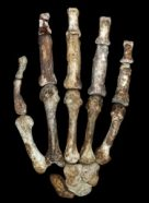 a photo of a a fossil hand