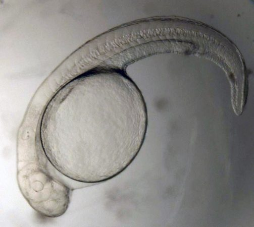 A silver carp embryo inside an egg. Credit: Alison Coulter