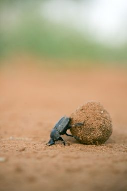 Dung beetles shape animal manure into balls and then roll them away for later eating. Credit: Emily Baird