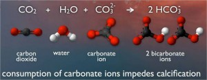 When carbon dioxide dissolves in ocean water, a process begins that uses up carbonate molecules. So more carbon dioxide means less carbonates for shell building by swimming snails and other creatures.