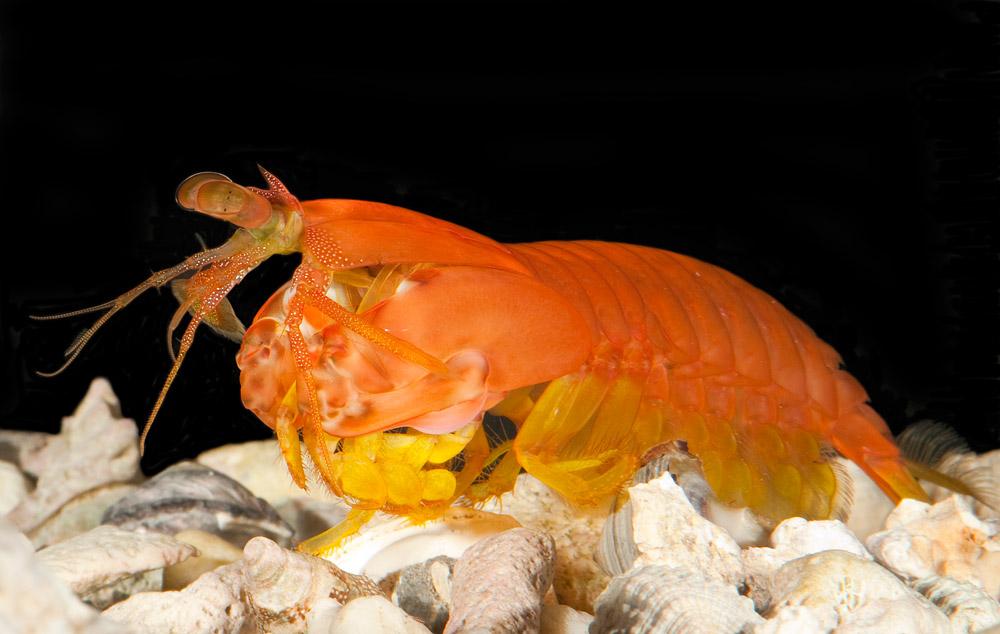 A female Gonodactylaceus glabrous mantis shrimp