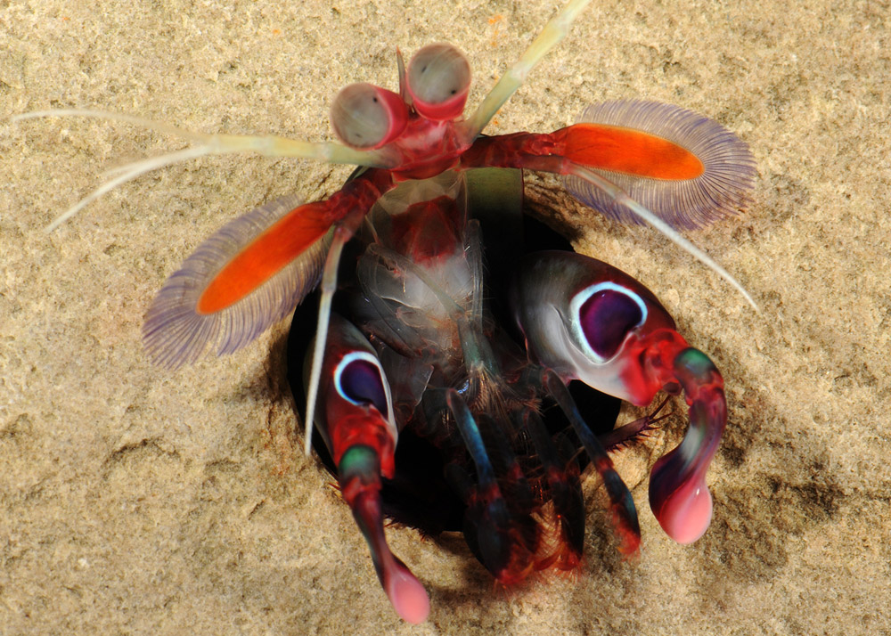 Gonodactylus smithii mantis shrimp