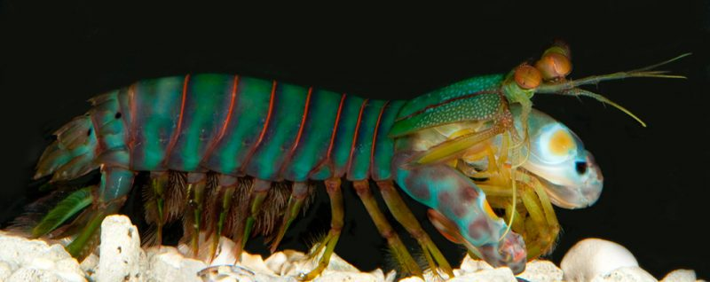 Mantis shrimp are related to crabs and lobsters. They come in a gorgeous array of colors. Credit: Roy Caldwell