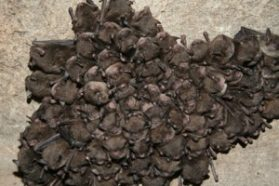 A cluster of endangered Indiana bats roosts in Hellhole Cave, W.Va., before white-nose syndrome's arrival there.