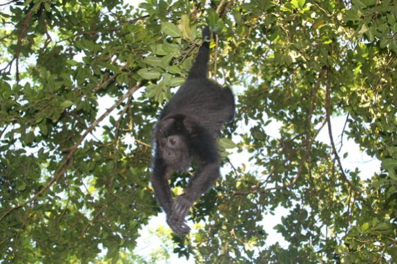 a photo of a howler monkey hanging from a branch