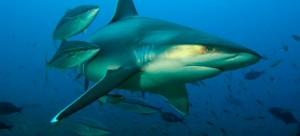 Shark in Fiji. Credit: Jeff Yonover
