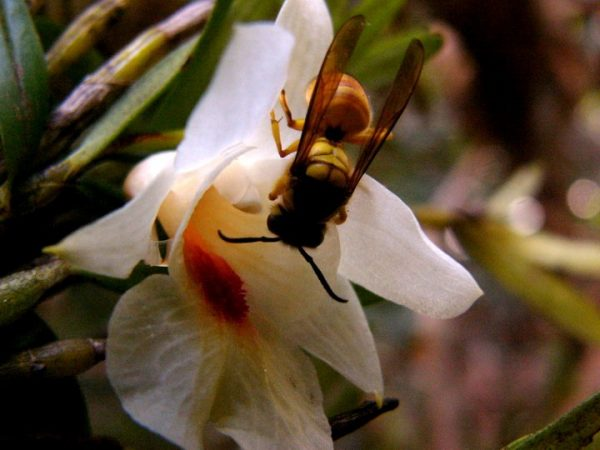 An orchid in China, called Dendrobium sinense, relies on hornets for pollination. The flower lures the hornets by mimicking a pheromone made by honeybees — a favorite hornet prey. Credit: Song Xi-qiang