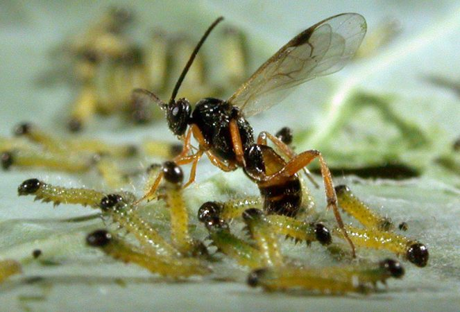 Once summoned, a wasp attacks cabbage white butterfly larvae. Credit: Hans M. Smid, Wageningen University/bugsinthepicture.com