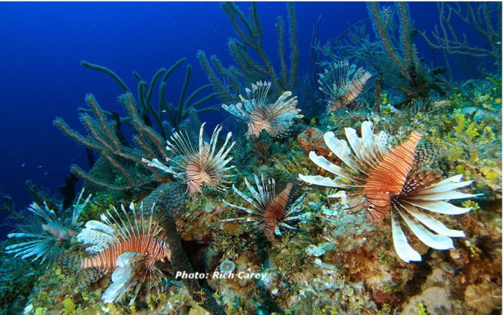 May 2008 shot of lionfish off New Providence Island, Bahamas. Where these fish have become established in Atlantic waters, it's not uncommon to find twice as many per square meter as in the species' native range. Credit: Rich Carey
