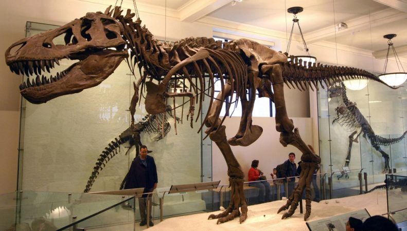 To estimate the size of dinosaur feces — including those from Tyrannosaurus rex (shown) — scientists measured poop from many living creatures. Credit: Wikimedia Commons/J.M. Luijt