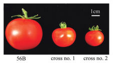 a photo of three tomatoes