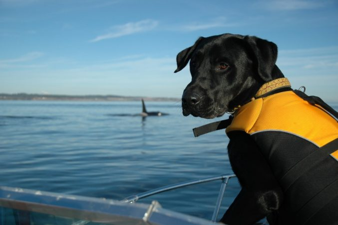This dog, named Tucker, sniffs out killer whale poop in the ocean. Credit: Center for Whale Research