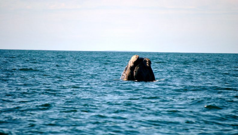 "A North Atlantic right whale in the Bay of Fundy lifts its head from the water, perhaps to take a look at researchers. This behavior is known, appropriately enough, as a ""head-lift."" The white patches around the whale's mouth and chin are called callosities. Each right whale's callosities form a unique pattern, allowing researchers to tell the whales apart. Credit: Eric Wagner"