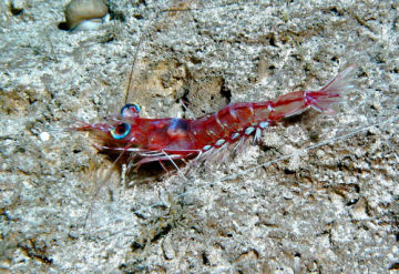 Scientists still have a lot to learn about the vision of deep-sea creatures, like this shrimp.