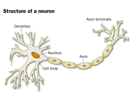 A neuron's axons and dendrites help it to transmit electrical signals. Dendrites bring information to the body of the neuron, and axons take information away from the cell body.