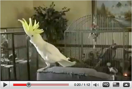 New research shows that Snowball the sulfur-crested cockatoo moves in time to musical beats, an ability long attributed only to people.