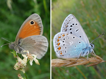 Two butterfly species, the small heath (left) and common blue (right)
